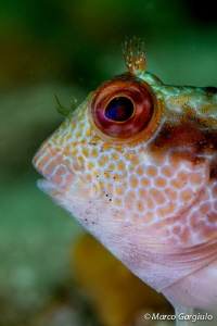 African Blenny, white fase, portrait by Marco Gargiulo 